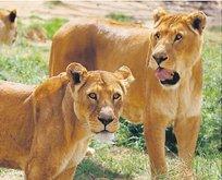 Saddamın aslanları