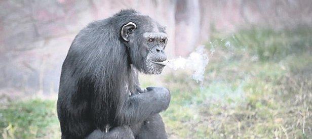 Efkarlı şempanze!