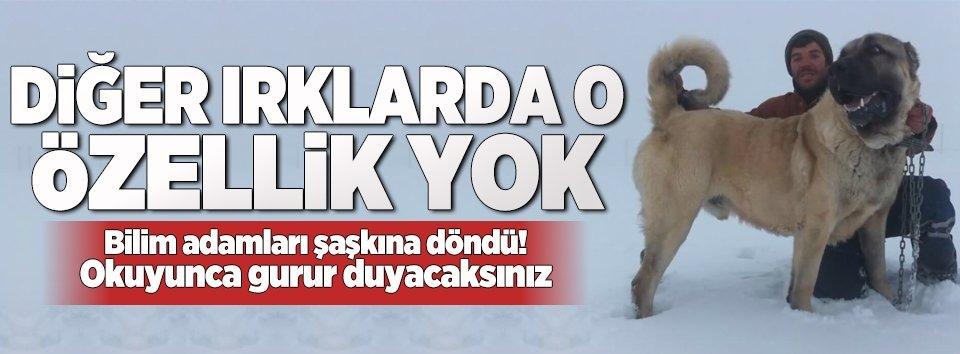 Türkiyedeki köpek ırkları ve özellikleri